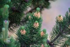 Triebe eines Weihnachtsbaums Stockbild