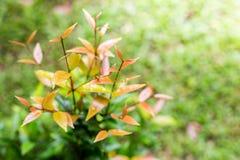 Triebe von Kiefern im Waldfrühling Stockfotos