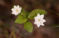 Trientalis di fioritura vicino su Fotografia Stock Libera da Diritti