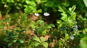Trientalis europaea flower Royalty Free Stock Photos