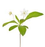 Trientalis europaea flower. Isolated on white background Royalty Free Stock Photos