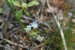 Trientaliseuropaea Noordpoolstarflower Royalty-vrije Stock Foto