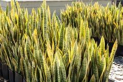 Trifasciata di sansevieria di coltivazione delle piante Immagine Stock