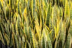Trifasciata di sansevieria di coltivazione delle piante Fotografie Stock Libere da Diritti