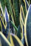 Trifasciata Sansevieria Στοκ φωτογραφίες με δικαίωμα ελεύθερης χρήσης