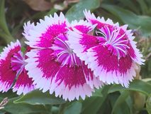 Trifecta of flowers. Pink and white flowers growing in unison Royalty Free Stock Photo