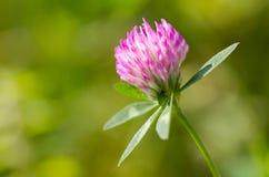 Trifogli del fiore Fotografie Stock Libere da Diritti