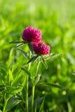 Trifogli del fiore Immagini Stock