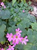 Trifogli dell'acetosella con i fiori porpora Fotografie Stock