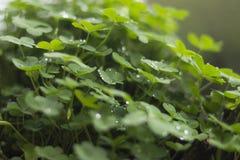 Trifogli delle piante verdi su un vaso con le goccioline e gocce di pioggia un giorno piovoso Fotografia Stock Libera da Diritti