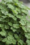 Trifogli delle piante verdi su un vaso con le goccioline e gocce di pioggia un giorno piovoso Immagini Stock Libere da Diritti