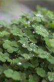Trifogli delle piante verdi su un vaso con le goccioline e gocce di pioggia un giorno piovoso Fotografie Stock Libere da Diritti