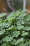 Trifogli delle piante verdi su un vaso con le goccioline e le gocce di pioggia Fotografia Stock Libera da Diritti