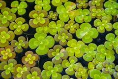 Trifogli di acqua Fotografia Stock Libera da Diritti