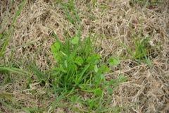 Trifogli ed erbacce dell'erba selvatica Fotografia Stock