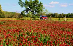 Trifogli incarnati e jeep rossa immagine stock