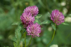 Trifoglio che fiorisce con i fiori rosa su prato inglese fotografia stock libera da diritti