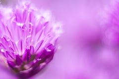 Trifoglio comune, fiore lilla, macro colpo, giorno soleggiato di estate Fuoco selettivo fuoco molle, bokeh, spazio per testo immagine stock