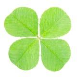 Trifoglio del foglio di verde quattro Immagine Stock