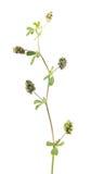 Trifoglio del luppolo o lupulina& x29 del Medicago; con i frutti isolati su fondo bianco Pianta medicinale Fotografie Stock