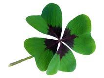 Trifoglio dell'ornamentale di quattro foglie Immagini Stock Libere da Diritti