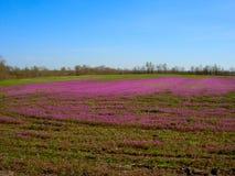 Trifoglio in fioritura 2 Immagine Stock Libera da Diritti