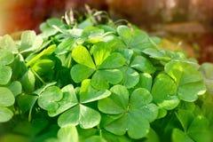 Trifoglio - foglie del trifoglio Immagini Stock
