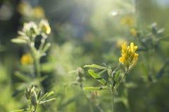 Trifoglio giallo soleggiato al tramonto Immagine Stock Libera da Diritti