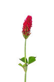 Trifoglio incarnato (incarnatum del trifoglio) Fotografie Stock Libere da Diritti