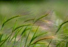 Trifoglio pratense selvatico nel salto archivato nell'erba pennuta del vento fotografia stock