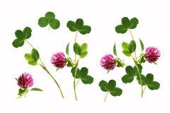 Trifoglio rosa del fiore Immagine Stock