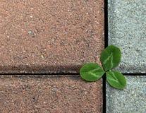 Trifoglio sulla pavimentazione di pietra Fotografie Stock Libere da Diritti
