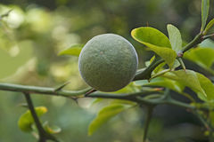 Trifoliate citrus fruit Royalty Free Stock Photography