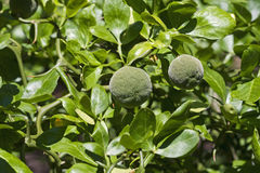 Trifoliate citrus fruits Royalty Free Stock Photography