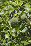 Trifoliate citrus fruits Royalty Free Stock Images