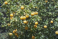 Trifoliate citrus tree with fruits Royalty Free Stock Photography