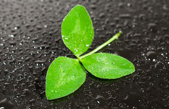 Trifoliate leaf clover in drops of water Royalty Free Stock Photos