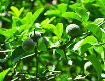 Trifoliate orange (Poncirus trifoliata) Royalty Free Stock Photography