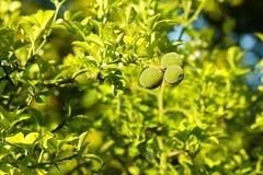 Trifoliate orange poncirus trifoliata Stock Image