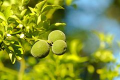 Trifoliate orange poncirus trifoliata. Detail of green citrus fruits and leaves, citrus fruits in a sunny day Royalty Free Stock Image