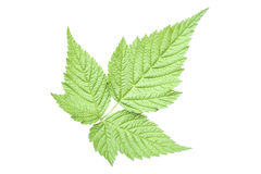 Trifoliate salmonberry leaf Stock Image
