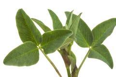 Trifoliate ungt spensligt grönt växt av släktet Trifoliumängslut Royaltyfria Bilder