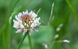 Trifolium λουλούδι άσπρου τριφυλλιού Στοκ φωτογραφία με δικαίωμα ελεύθερης χρήσης