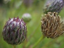 trifolium красного цвета pratense клевера Стоковые Изображения RF