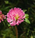 Trifolium alpestre Stock Photos