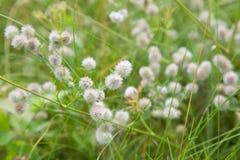 Trifolium arvense background Royalty Free Stock Image