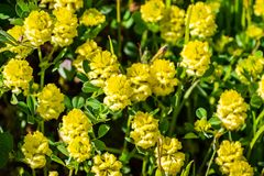 Trifolium campestre, commonly known as hop trefoil, field clover and low hop clover, is a species of clover native to Europe and. Western Asia; invasive in stock photography