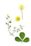Trifolium campestre Royalty Free Stock Images