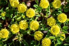Trifolium campestre, powszechnie znać jako chmiel koniczyna, śródpolna koniczyna i depresja chmielu koniczyna, jest Europa gatunk obrazy stock