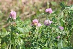 Trifolium do trevo Fotografia de Stock Royalty Free